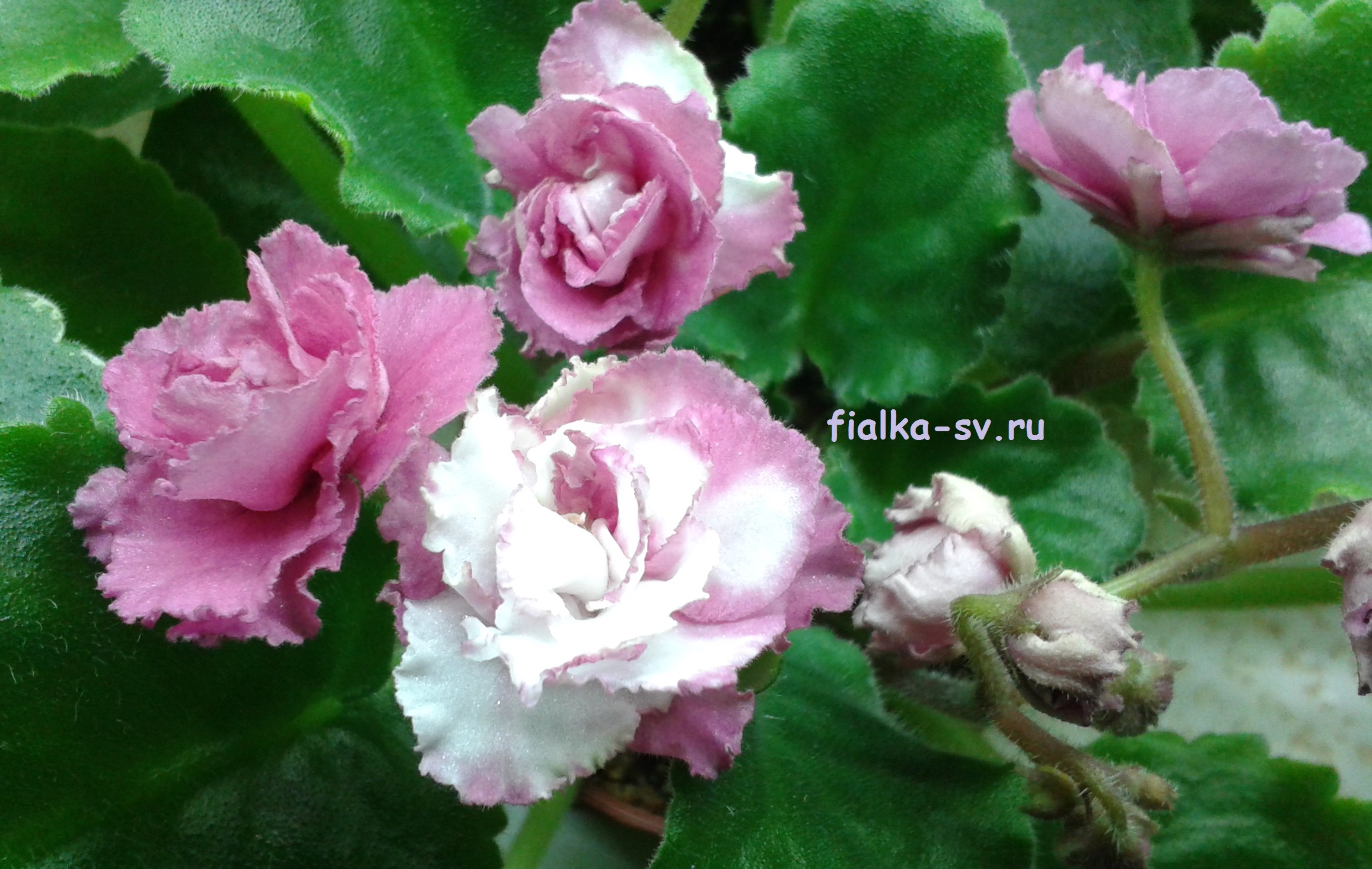 век фиалка ав подмосковная роза фото цвета для создания